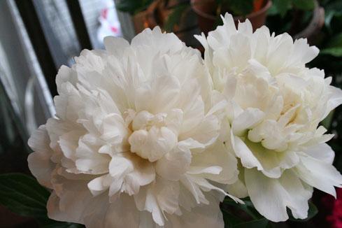 スタンド花 花束 花ギフト 花を贈る フラワーギフト 誕生日花白芍薬