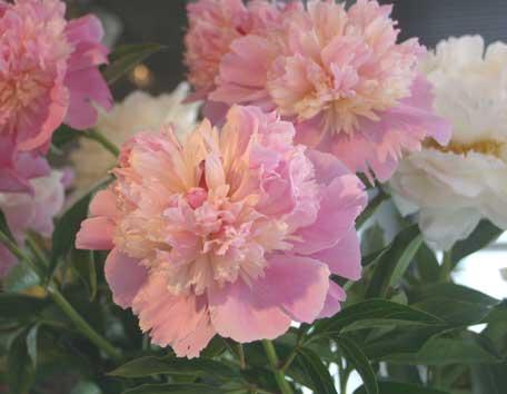 芍薬淡いピンク