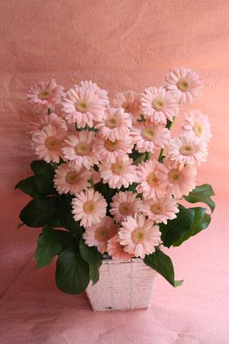 pink-ga-bera